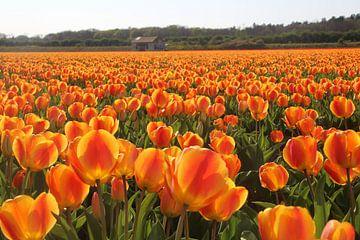 Oranje tulpen van Geert Heldens