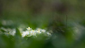 Bosanemonen in het vroege lentelicht