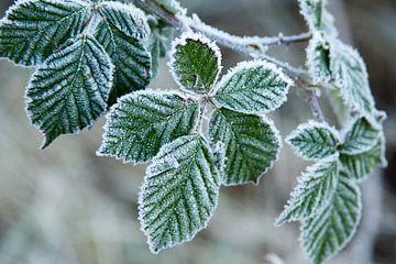 Grüne Blätter mit einer Schicht aus Eis von Schram Fotografie