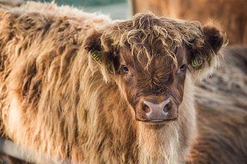 Schottisches Highlander-Kalb von Rosalie Oosterom
