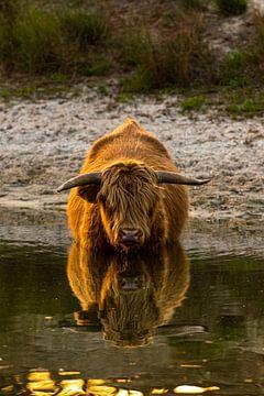 Schotse Hooglander in de Staatsbossen van Gerry van Roosmalen