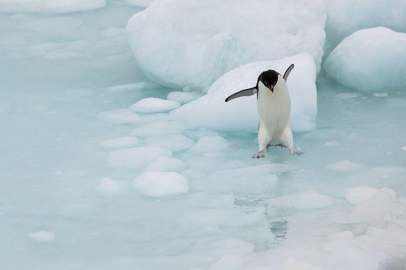 Springende Adelie Pinguin Antarctica van Eefke Smets