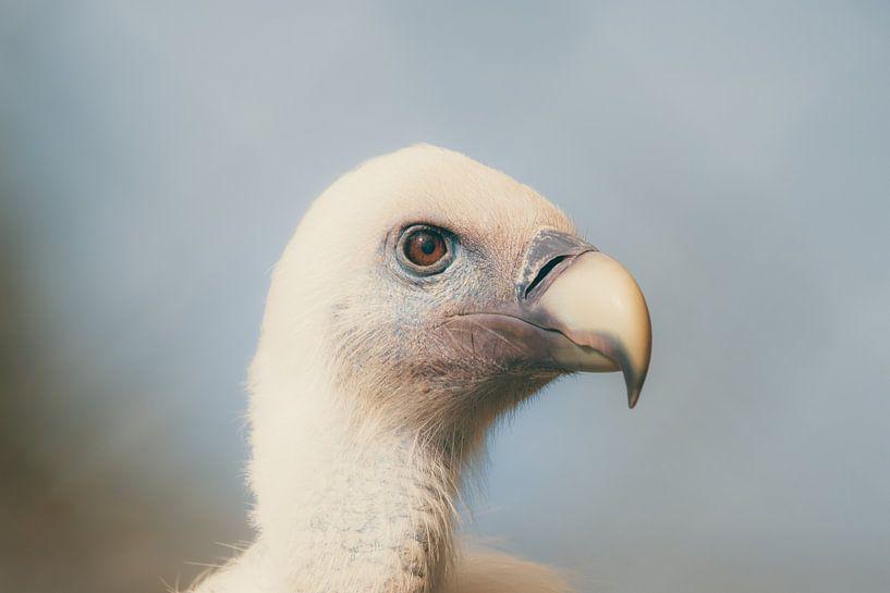Gänsegeier - Griffon Vulture van Dagmar Marina