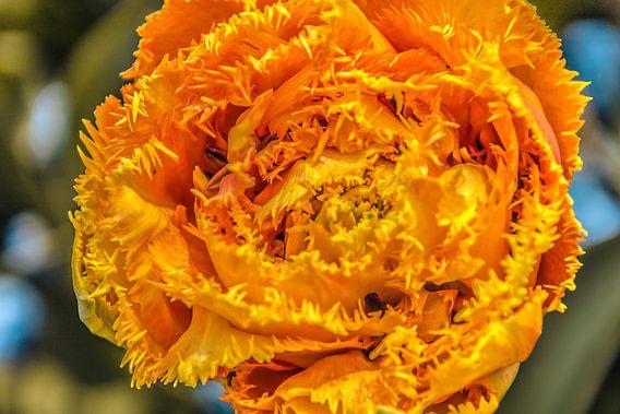 Een bijzondere franje tulp