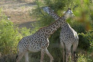 Giraffen van