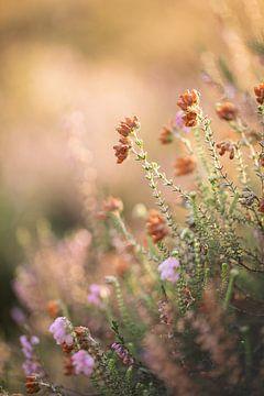 Heide in einer sonnigen, weichen und warmen Umgebung von KB Design & Photography (Karen Brouwer)
