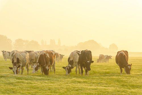 Koeien in de wei tijdens een mistige zonsopgang in de IJsseldelta