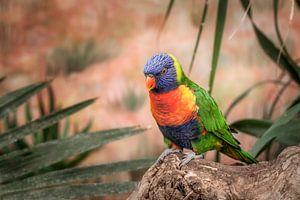 Kleurrijke Lory vogel