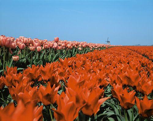 Tulpen en molen van Rene van der Meer