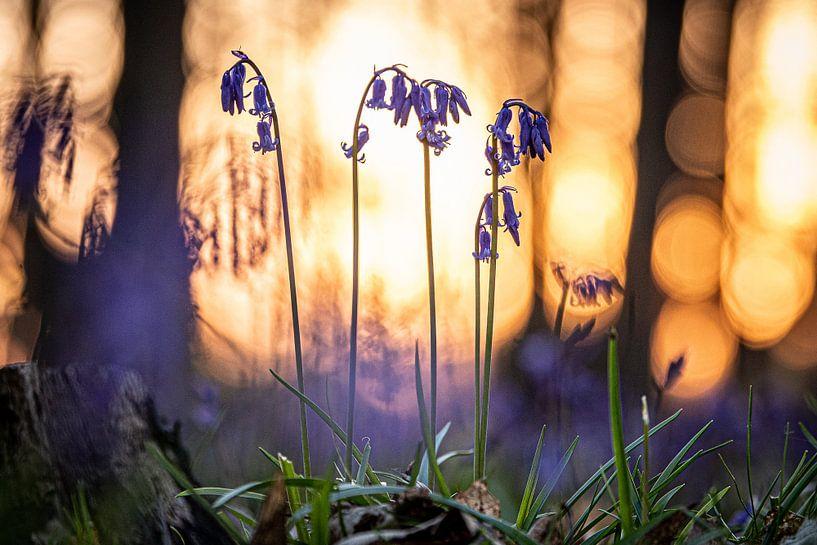 Blauwe boshyacinten van Jim De Sitter