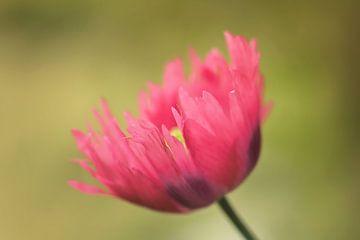 Pink Summer sur Monique Laats-Wind