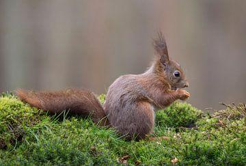 Etende Rode Eekhoorn van Marcel  Klootwijk