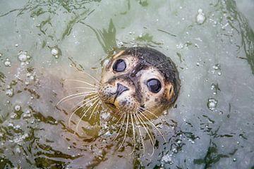 Nieuwsgierige zeehond van Frans Lemmens