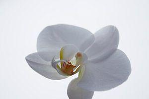 Witte orchidee van Ilse Rood
