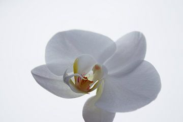 White orchid sur Ilse Rood