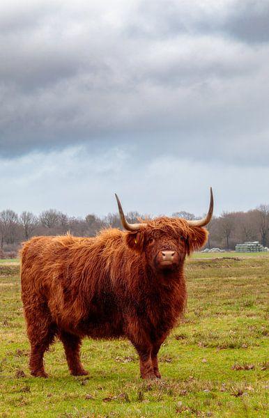 Schotse hooglander van Anjo ten Kate