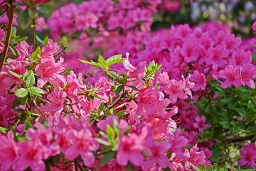 Rhododendron / Alpenrose von Norbert Sülzner