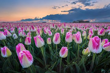 Tulpenveld met regendruppels van Alex Riemslag