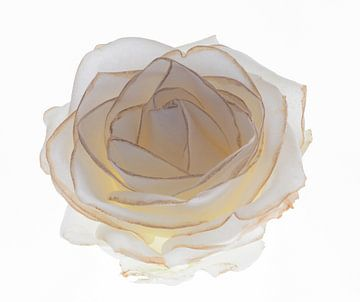 rose van Franka vander Helm