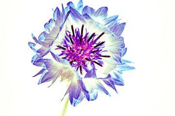 Kornblumen blau von Lynlabiephotography