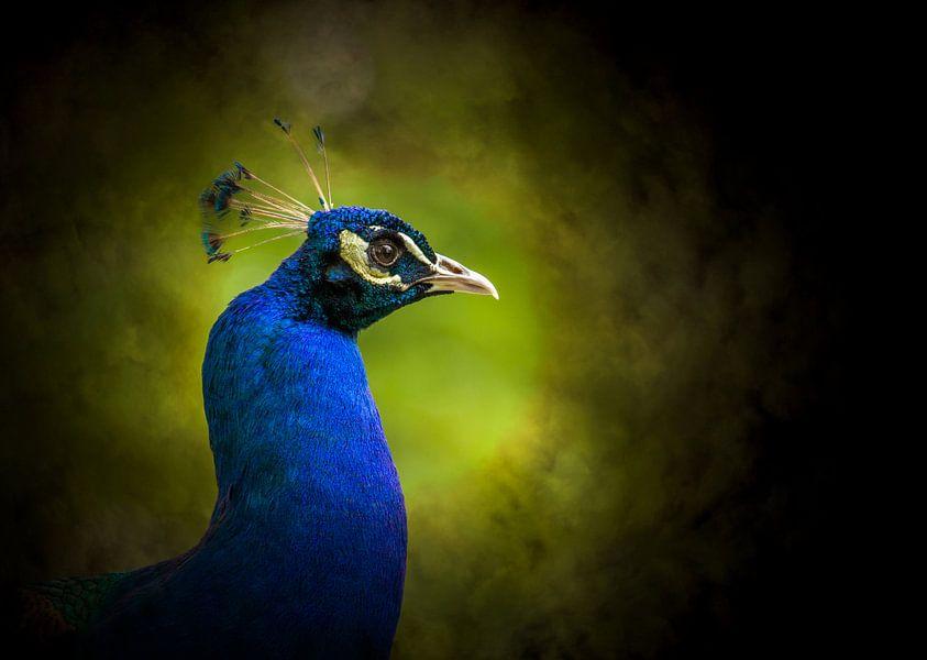 Pauw blauw