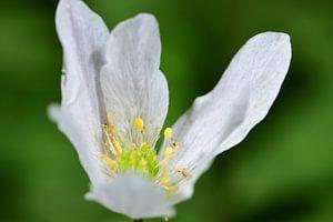 Een wit bloemetje van