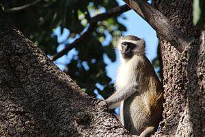 Den Affen vom Baum aus beobachten