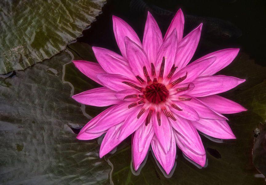 Roze lotusbloem  van Marcel van Balken