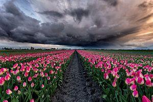 Tulpen onder de storm