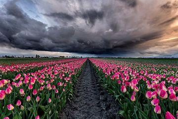Tulpen onder de storm sur Costas Ganasos