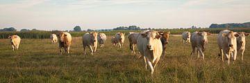 Blonde d'Aquitaine runderen in de wei van Monique Hassink