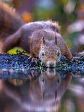 Trinkendes Eichhörnchen von Linda Raaphorst