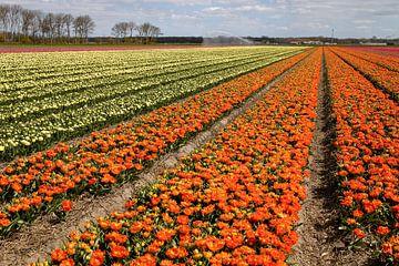 Tulpen in de kleuren geel en oranje kleuren het landschap in Noord Holland van Studio de Waay