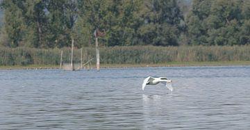 Flying swan op het meer van Wolf-Dieter Werner