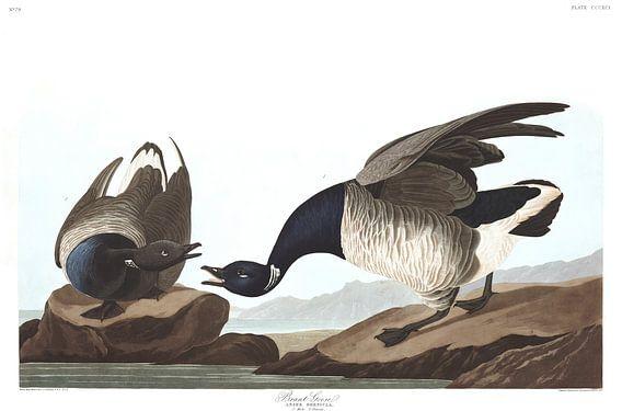 Rotgans van Birds of America