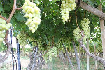 druiven trosjes hangend in italië in het mooie zuid-italië  van Joost Brauer