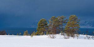 Dennenbomen langs een Fjord in Noord Noorwegen voor een sneeuwbui