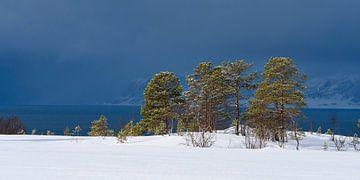 Dennenbomen langs een Fjord in Noord Noorwegen voor een sneeuwbui van