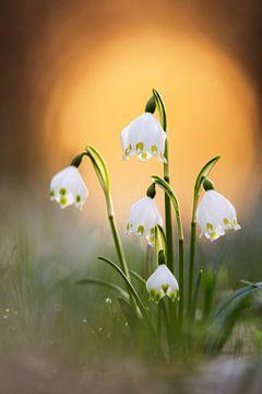 Märzenbecher im ersten Frühlingslicht von Daniela Beyer