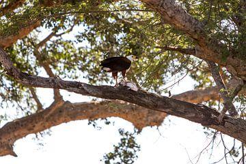 African Fish eagle von