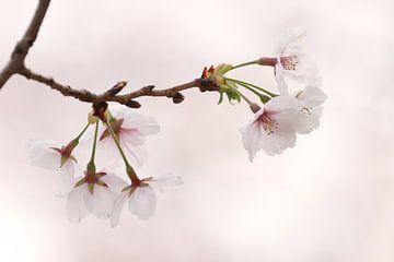 """Sakura"" von Tazi Brown"