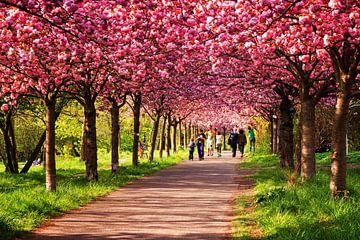 Berlin im Frühling: Kirschblüte von Alexander Voss
