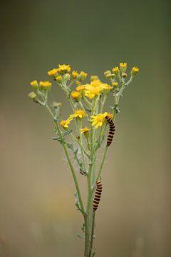 Rups van sint-jacobsvlinder op jacobskruiskruid van Vincent Keizer