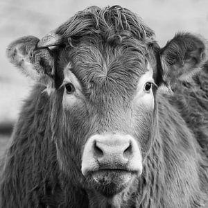 Een portret van een Limousin Koe van Menno Schaefer