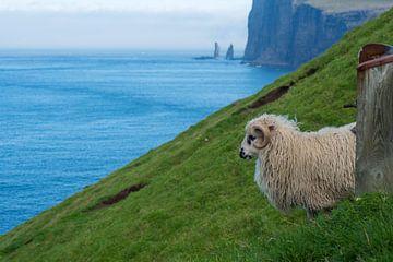 Färöisches Schaf von Robin van Maanen