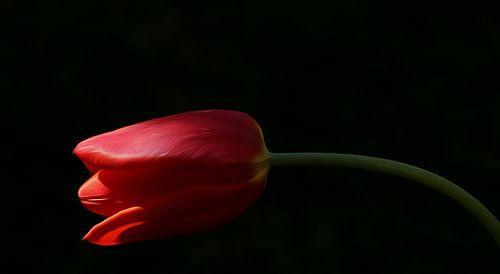 Rote Tulpe van
