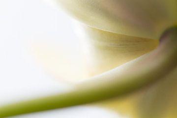Tulpe von Siska Heus