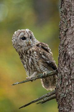 Tawny Owl * Strix aluco * sur wunderbare Erde
