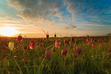 Kievitsbloemen bij ondergaande zon sur Jeffry Westerhoff