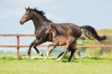 Galopperend paard samen met haar veulen sur Yvette Baur